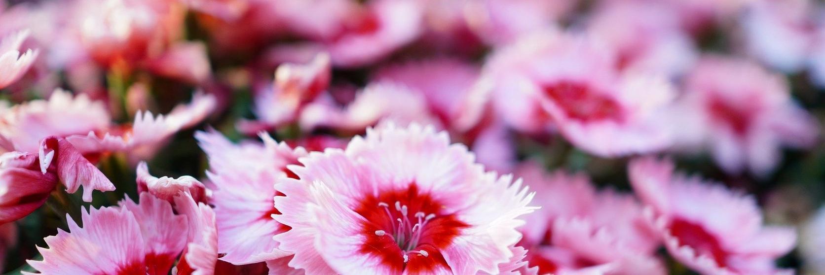 sweet-william-pink