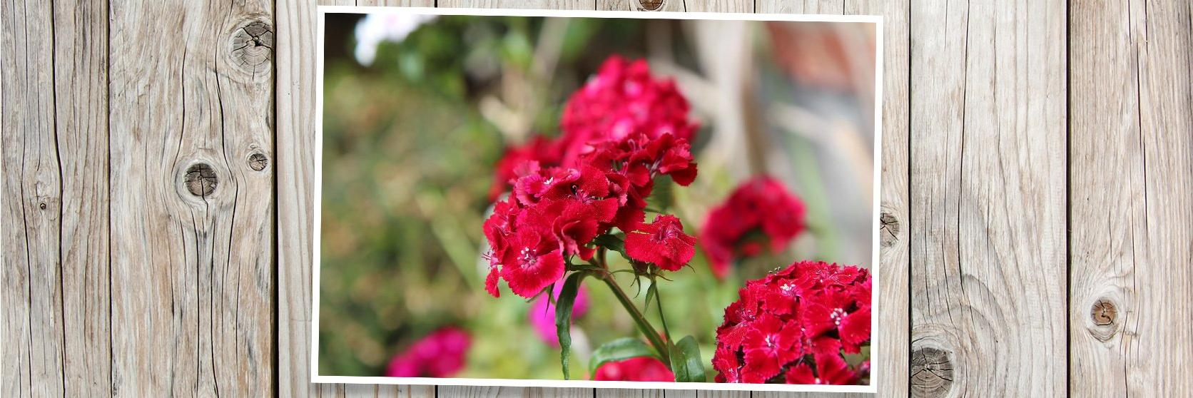 sweet-william-red-PLANK