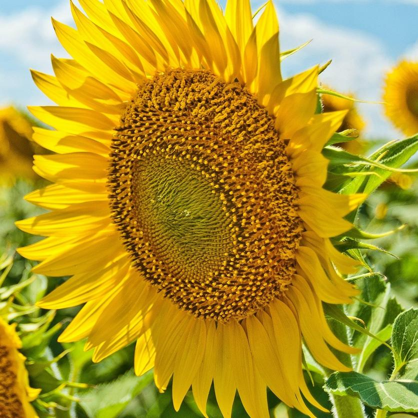 tall-sunflowers-giant