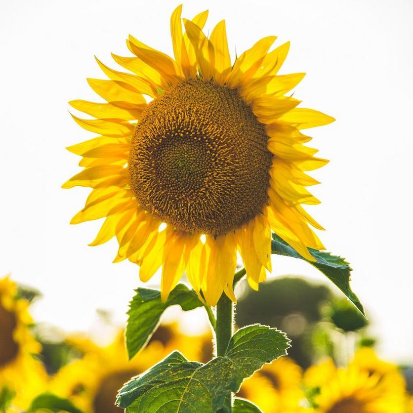 tall-sunflowers-mammoth