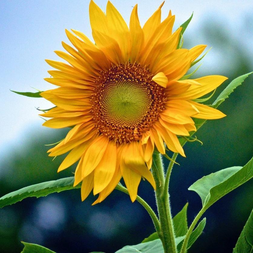 tall-sunflowers-skyscraper