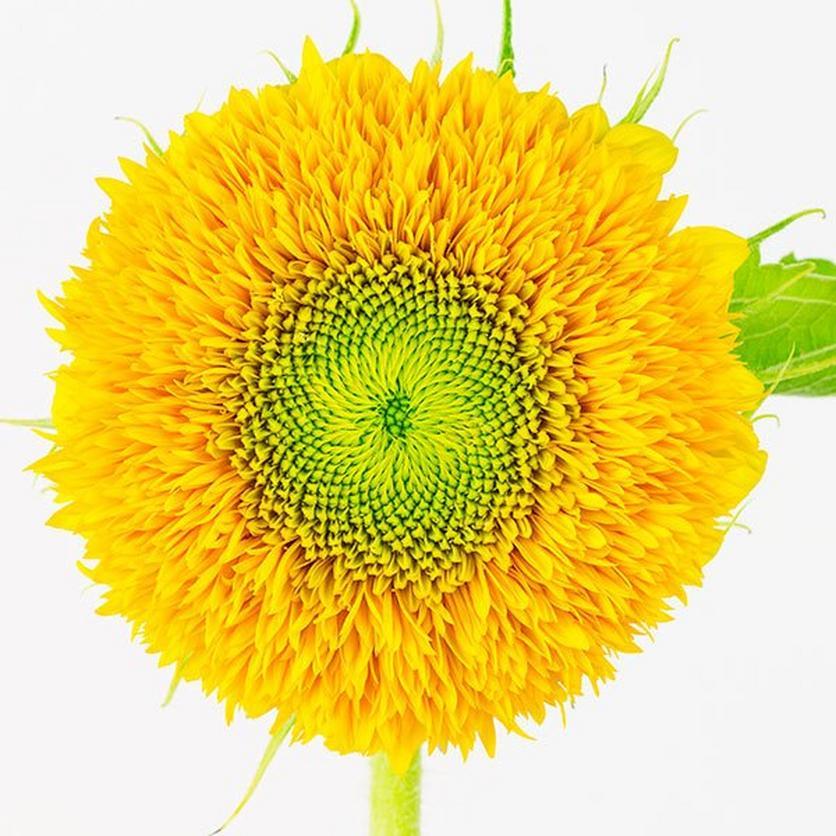 teddy-bear-sunflower-ultimate-guide