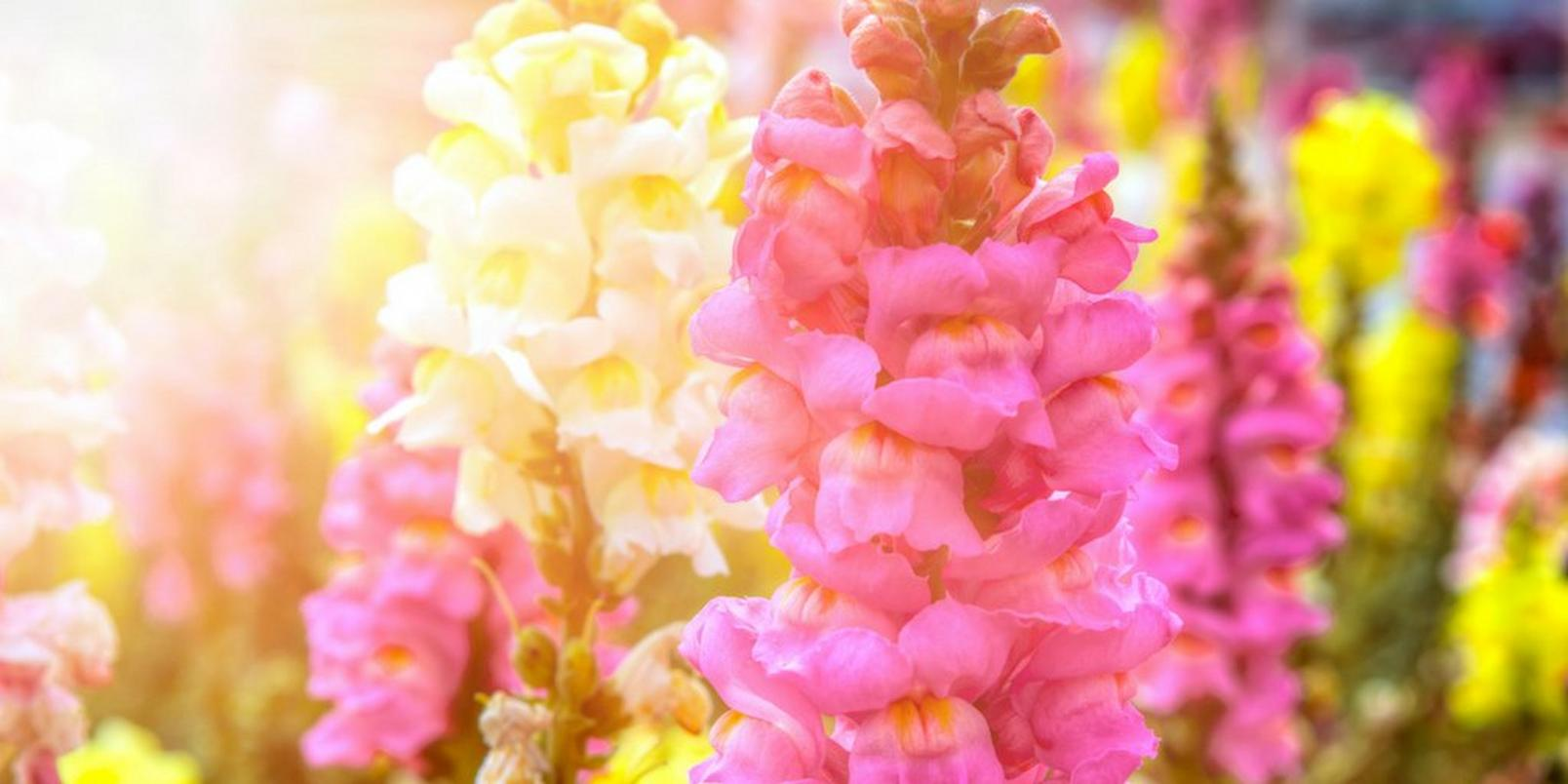 top-hay-fever-friendly-flowers-2
