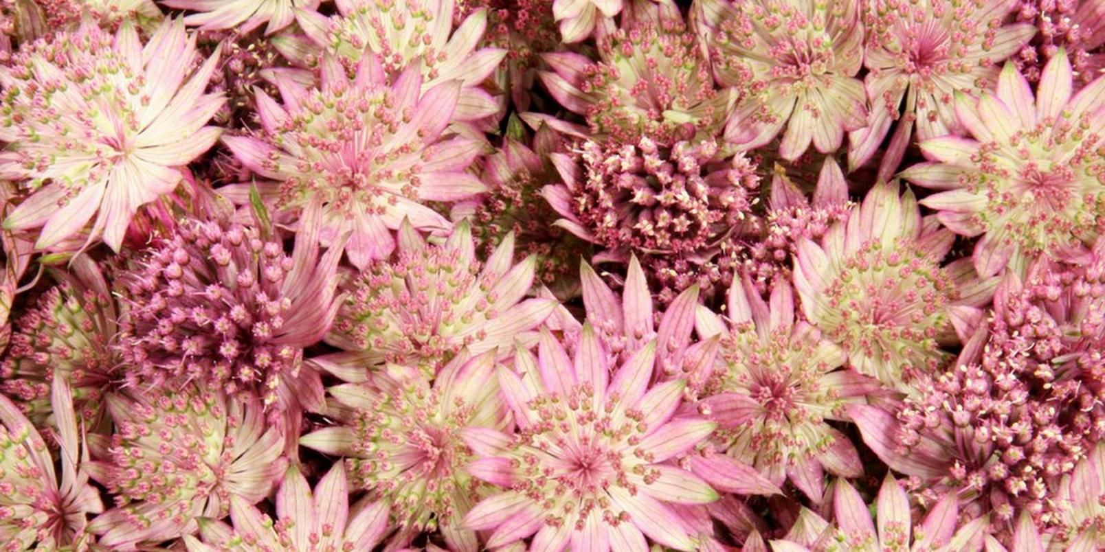 top-hay-fever-friendly-flowers-6