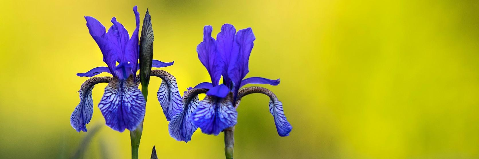 two-iris-in-field